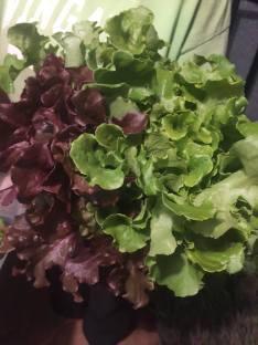 Miller lettuce
